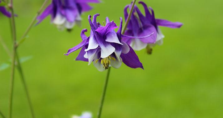 gristmill-purpleflowers